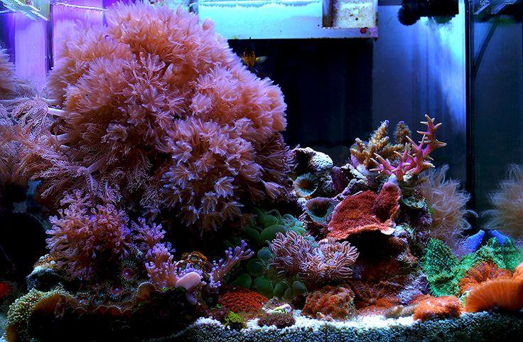 114 best images about saltwater fish tanks on pinterest for Aquarium recifal nano