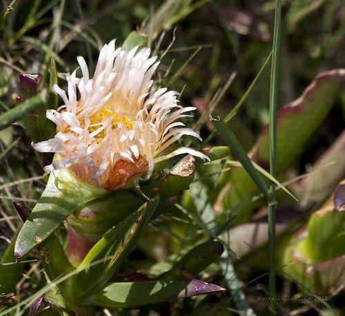 Flowers (Fynbos)9783_ Fisherhaven, Western Cape, South Africa