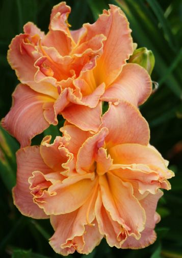 """Mister Johnny* (Kirchhoff 2014) M Re Ex VFr Ev 5 1/2"""". Named to honor & remember the late John Ditmer daylily connoisseur & beloved former president & member of the Pittsburgh Iris and Daylily Society. Beautiful double sizzles in coral rose colors w lighter midribs above the apricot to yellow green throat. Scapes w good branching & repeat w hundreds of blooms throughout the season. Pompom form is full & consistent, w smooth sparkling finish & ruffled edges."""