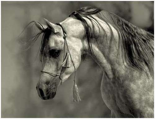 Horses: The Arabian is elegant, the intelligence, endurance and refinement of this treasured Arab warhorse painstakingly cultivated for over 4000 years.
