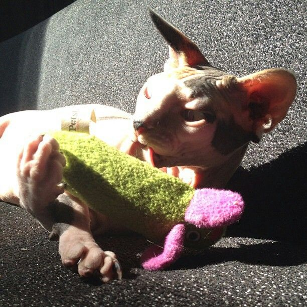Mittens, our sphynx girl