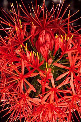 Flowers...Flowers... Flowers...   Fireball Lily