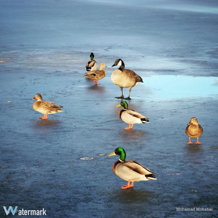 Ducks on ice