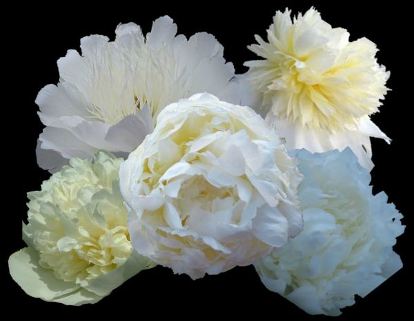 WHITE PEONY COLLECTIONS AT pEONY fARM, wouldn't you just want these in your White Garden?