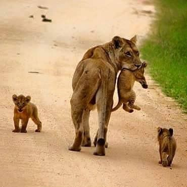 Lion mother with her youngsters.