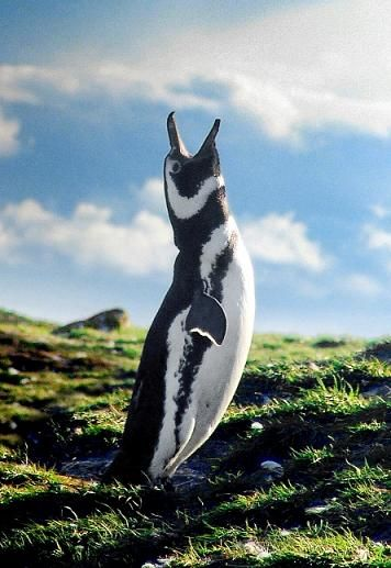 The penguins of Punta Arenas, Chile