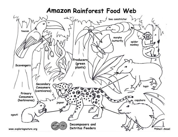 The 25+ best Rainforest food chain ideas on Pinterest