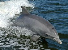 Common bottlenose dolphin - 11 species of dolphin occur in California.
