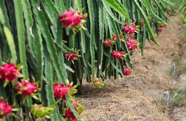 Để cây thanh long phát triển bền vững ở Mang Thít
