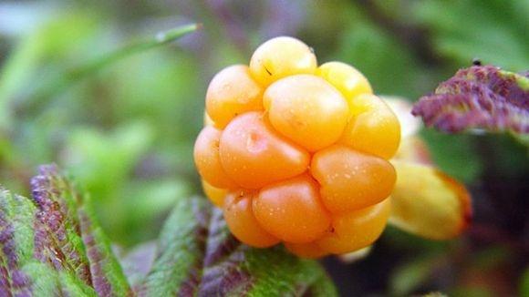 Actic berry CLOUDBERRY (Rubus chamaemorus) -Hilla - Lakka - Suomuurain / cloudberry