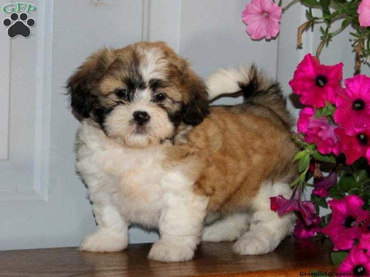 Goldenrod, Shichon puppy for sale in Quarryville, Pa