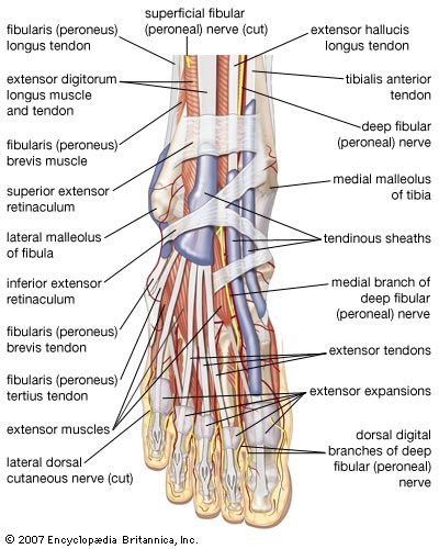 foot: right foot, major muscles, tendons, and nerves