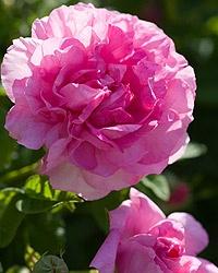 Empress Josephine...gallica: Flowers Gardens, Pink Flowers, Flowers Bollow, Clear Pink, Incompar Josephine, Empress Josephine Gallica