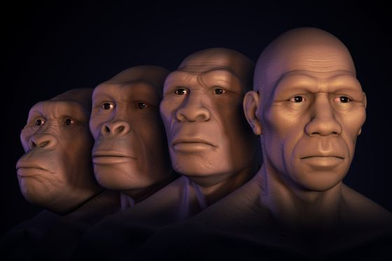 From left to right, reconstruction of the faces of australopithecus, Homo habilis, Homo erectus and Homo sapiens. Getty