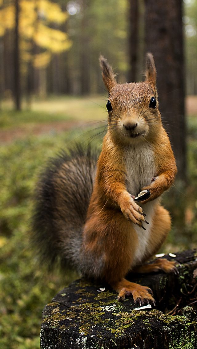 Squirrels - cute little ears and mustache. black round little eyes very far apart. His nose is very round. His upper bound of his head is a horizontal straight line