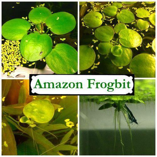 Frogbit Aquarium Plant