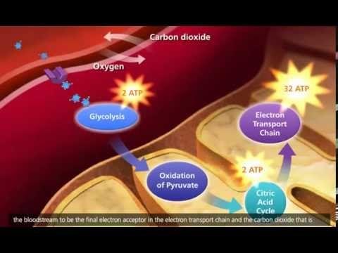 Cellular Respiration 5 - Oxidative Phosphorylation - YouTube
