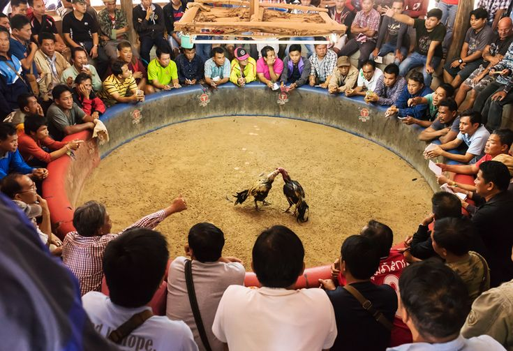 Cockfighting- This Sankranti Sport Has Been Banned By High Court!