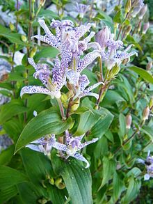 Tricyrtis hirta (Toad Lily, Hairy Toad Lily) is a Japanese species of hardy perennial plants in the lily family.    Order:	Liliales Family:	Liliaceae Genus:	Tricyrtis Species:	T. hirta