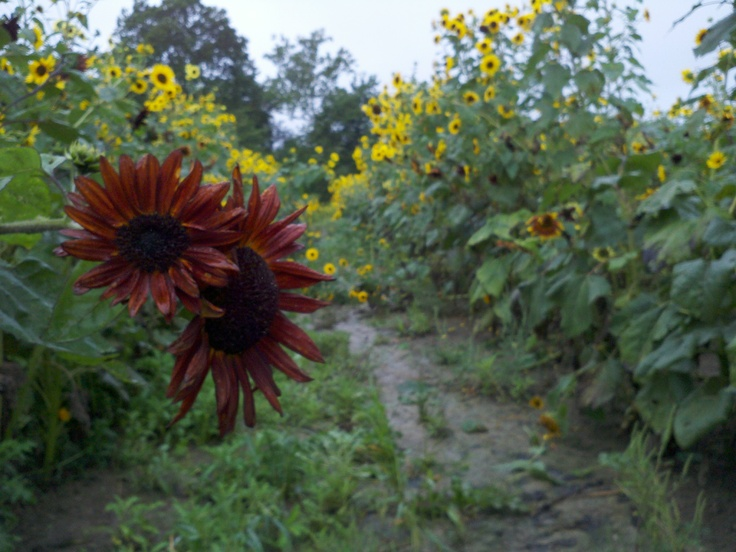 Down the row of sunflowers.