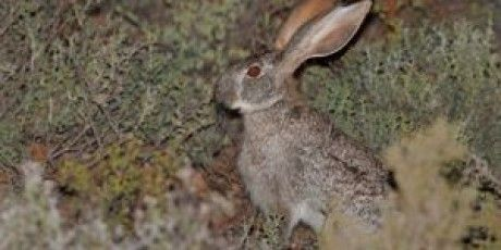 SMITH'S RED ROCK RABBIT (Pronolagus rupestris)  of the Gourtiz Cluster Biosphere Reserve