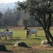 Bueyes pastando en La Finca