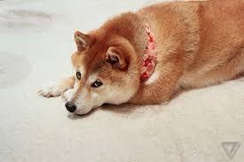#shiba #akita #shibainuoverload #doge #shibainumania #shibainu