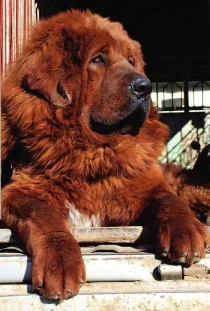 Hong Dong, a Tibetian Mastiff is the world's most expensive dog, purchased in China for 1.5 million