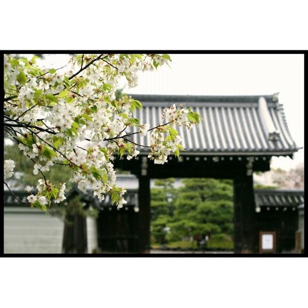 桜·京都御苑  Cherry blossoms in Kyoto Imperial Palace