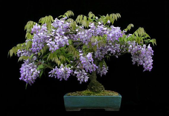 Chinese Wisteria Vine Very Fragrant Grow as a Bonsai by CheapSeeds