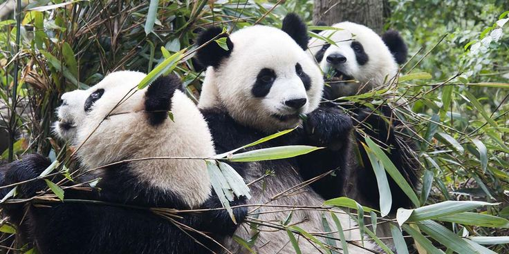 Pandalardan sevindirici haber: Artık tehlikede değil ama hâlâ duyarlı-  #panda #hayvanlar