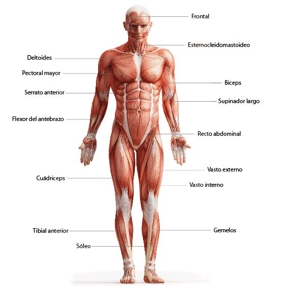 cuerpo humano con los principales musculos - Buscar con Google ...