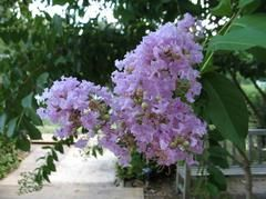 Lagerstroemia indica 'Muskogee'   Bloom Time: July to September Bloom Description: Lavender-pink - basic informaiton about the indica series of trees