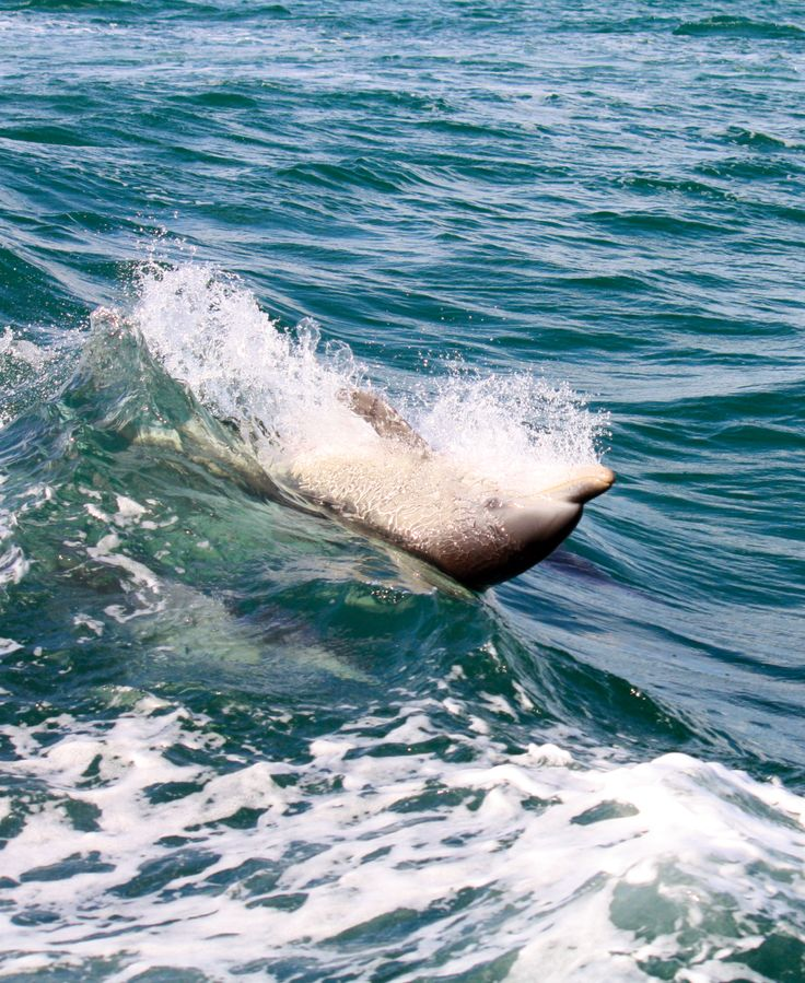 A cheeky back surfing dolphin. #dolphin #cruises #watching