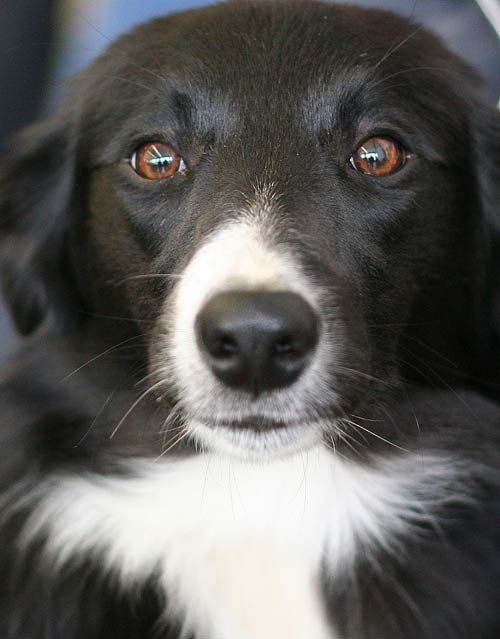 "Border Collie. ""If I have any beliefs about immortality, it is that certain dogs I have known will go to heaven, and very, very few persons."" James Thurber. http://www.annabelchaffer.com/categories/Dog-Lovers-Gifts/"