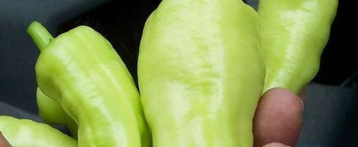 Banana Pepper 'Sweet Banana' Capsicum annuum