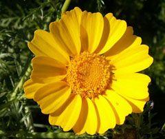 Chrysanthemum coronarium Chop-Suey Greens