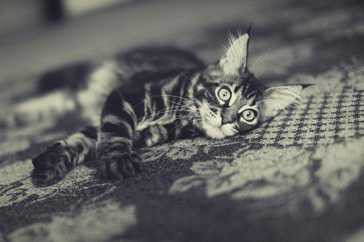 kitty Habibi Hannah; maine coon; cat
