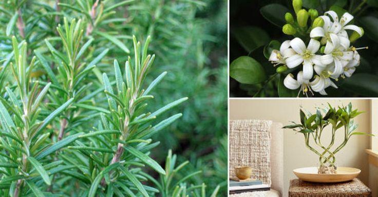 M s de 25 ideas incre bles sobre plantas que purifican el for Plantas de interior limpian aire