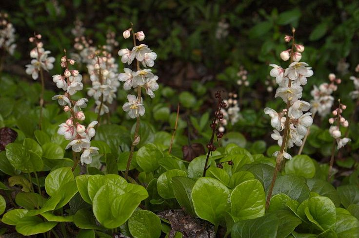 Pyrola grandiflora (By Andy's Northern Ontario Wildflowers)