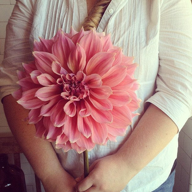 Who has the biggest dahlias in town?? - @poppies_flowers- #webstagram