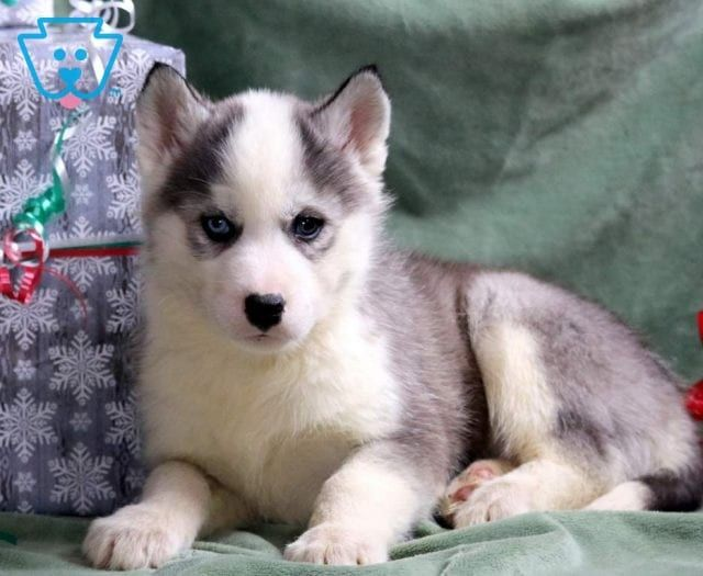 Moonlight Husky Puppies For Sale Husky Puppy Siberian Husky