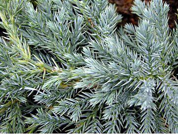 Juniperus Squamata Blue Carpet or Juniper Conifer Image 1