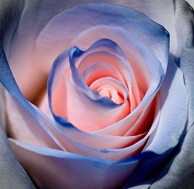 100 Piece Blue And Pink Rose Seeds Rare Color Rich Aroma DIY Home Garden