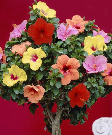 This Tropical Braided Hibiscus Tree by Seedling & Sprout  is perfect! #zulilyfinds