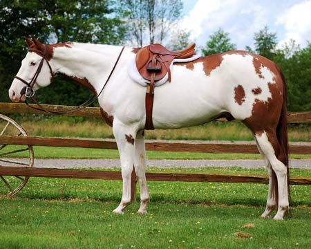 ImaRealSweetNorfleet (Baxter) Breed: Paint horse.