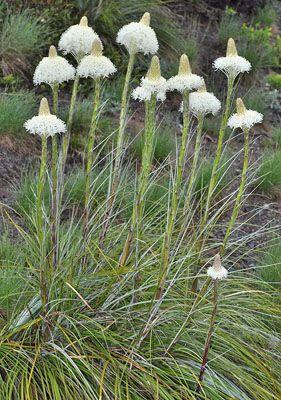 Xerophyllum tenax, Stålgress Steelgras, Melanthiaceae Myrliljefamilien, SNITT