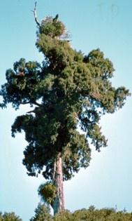 Google Image Result for http://cber.bio.waikato.ac.nz/courses/226/Gymnosperms/Podocarpaceae_files/image019.jpg