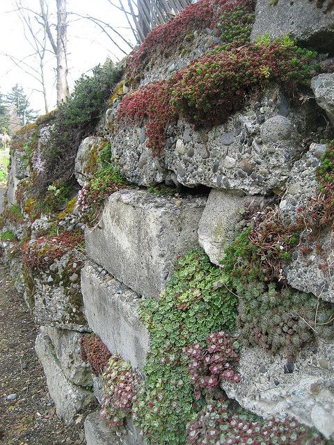 a perfect example of a stacked wall whose crevices fill with succulents  moss  and other plants