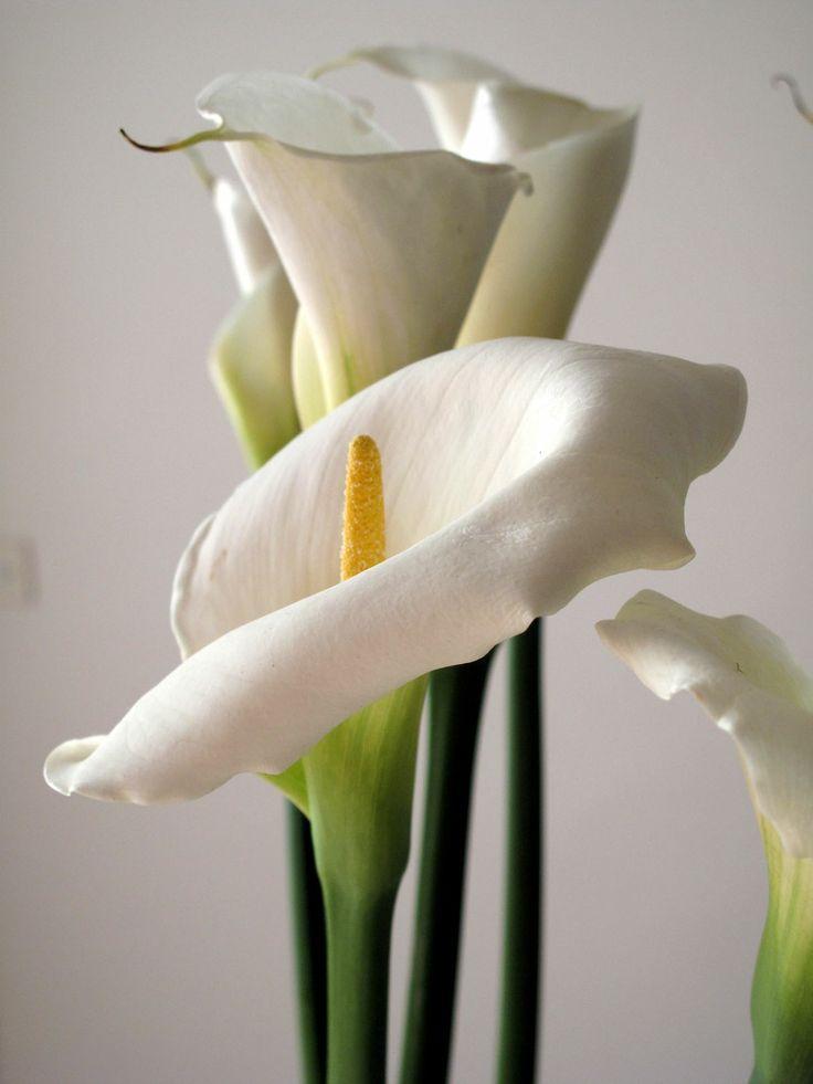 Lilies | Mexico City | Lilly plants, Calla lily e Lilies ...